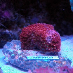 Goniopora Minor Red -...