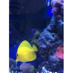 Zebrasoma flavescens - żółtek