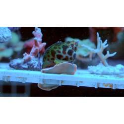 Slimak Babylonia spp.