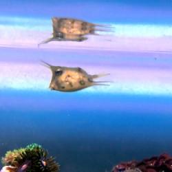 Lactoria cornuta - cowfish...