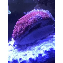 Goniopora minor Red